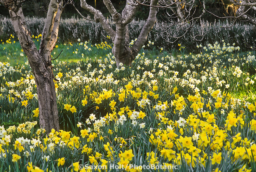 Orchard in spring with naturalized Narcissus (daffodil) 'Ice Follies' and Daffodil (Narcissus) 'Carlton'