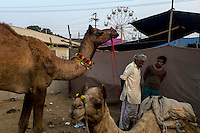 Camels and its owners converses at Pushkar fair ground. Rajasthan, India.
