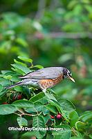 01382-05107 American Robin (Turdus migratorius) eating Serviceberry (Amelanchier canadensis) Marion Co., IL