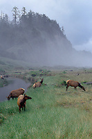 Roosevelt elk<br />