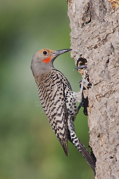 Northern Flicker,Colaptes auratus,Red-shafted form, male at nesting cavity with young,Rocky Mountain National Park, Colorado, USA