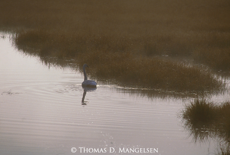 Trumpeter swan floats along the edge of the Snake River in the early morning.
