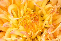 Yellow dahlia flower close view.
