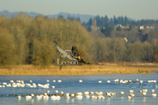 Red-tailed Hawk (Buteo jamaicensis) flying over lake with tundra swans.  Western U.S., fall.