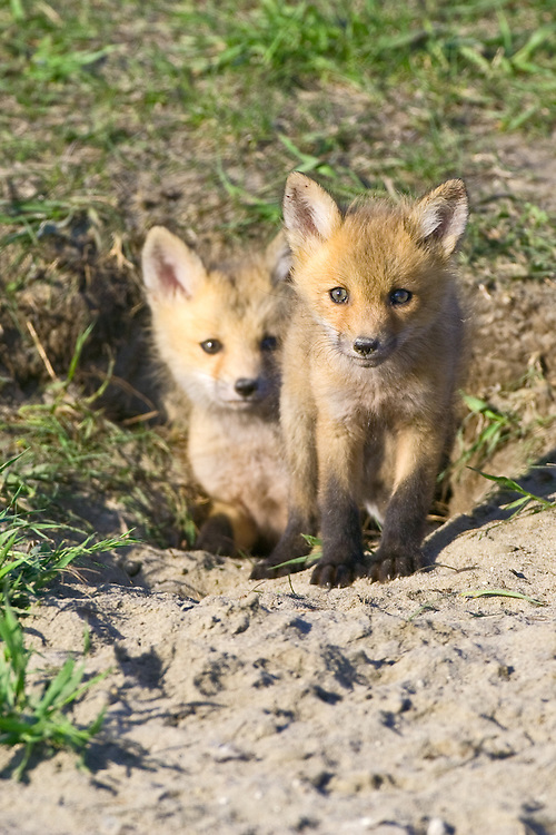 Pair of Red Fox kits standing in and around their den