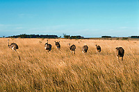Horizontal image of a herd of wild native rhea (rhea americana) birds roaming and feeding in tall grass - Termas De Arapey,Uruguay.