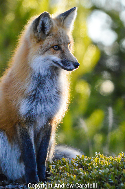 A Red Fox  on a cold day in in Rocky Mountain National Park, Colorado  soaks up the warmth of the sun's late afternoon rays.