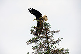 USA, Alaska, Homer, China Poot Bay, Kachemak Bay, a bald eagle spotted in the trees near the Kachemak Bay Wilderness Lodge