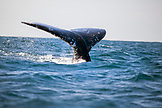 MEXICO, Baja, Magdalena Bay, Pacific Ocean, a grey whale seen while out whale watching in the bay