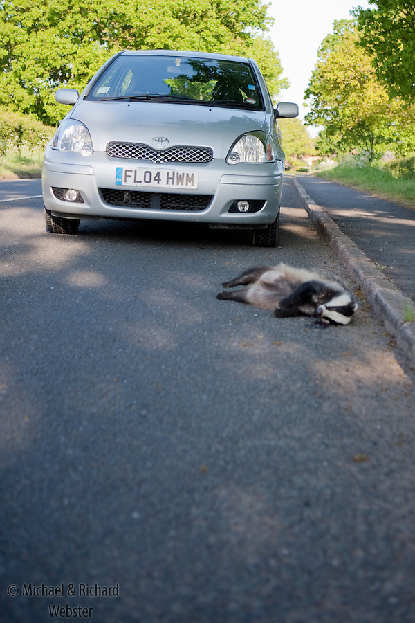 Road accidents are a  common cause of death to Badger populations,  They are nocturnal, their dark colour makes then difficult to see at night and are dazzled by headlights.