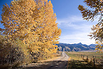 A country road leads the way to golden autumn trees, blue skies and the Bridger Mountain Range. A perfect fall setting in Bozeman Montana.