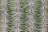 Lace Cactus, Echinocereus reichenbachii, thorns, Uvalde County, Hill Country, Texas, USA