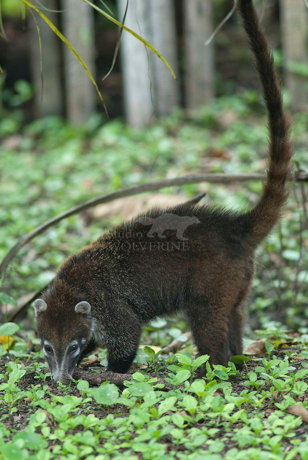 Witsnuit-neusbeer (Nasua narica)