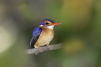 African Pygmy-kingfisher - Ispidina picta