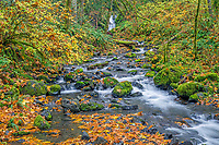 ORCG_D215 - USA, Oregon, Columbia River Gorge National Scenic Area, Gorton Creek in autumn is bordered by colorful shrubs, fallen leaves of bigleaf maple and mossy rocks. Emerald Falls appears in the background.