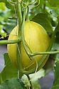 Melon 'Sugar Nut' (Cucumis melo var. inodorus), polytunnel, mid August.