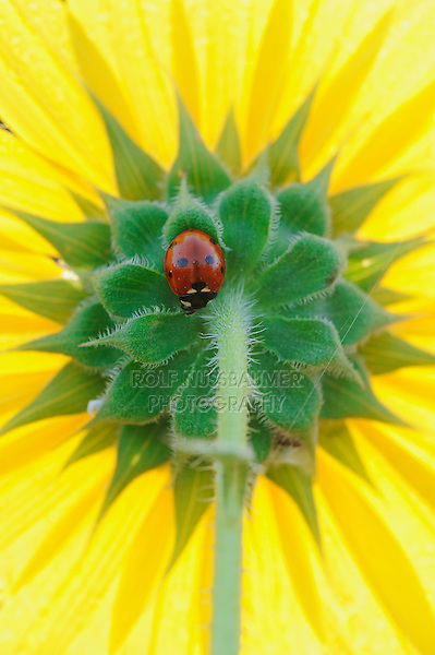 Seven-spotted Ladybug (Coccinella septempunctata), adult perched on sunflower, Dinero, Lake Corpus Christi, South Texas, USA