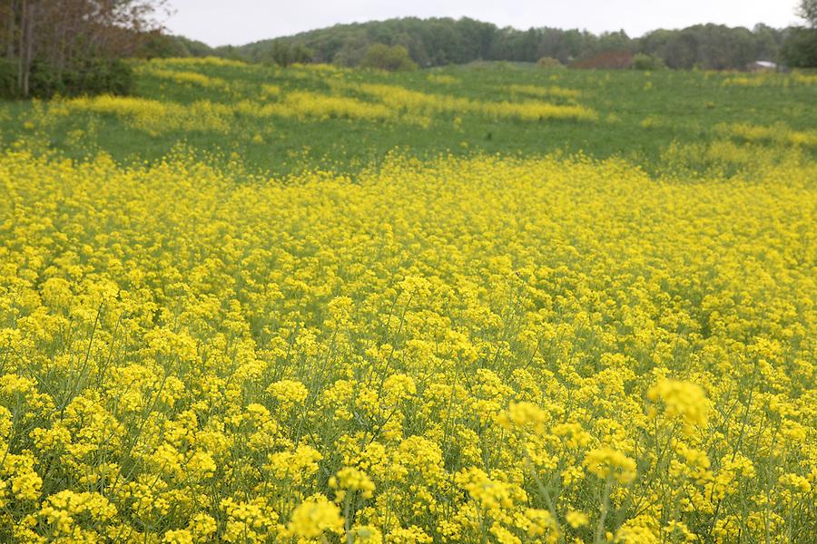 A field of flowers in Albemarle County, Va.