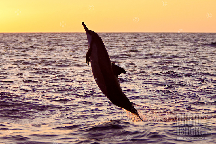 A jumping Hawaiian spinner dolphin (Stenella longirostris) at sunset, Kona, Big Island.