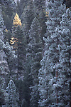 Ponderosa pine forest, winter, ice fog, Okanogan County, Eastern Washington, Washington State,