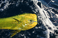 Mahi mahi, Coryphaena hippurus, dolphinfish, dorado, in the water with circle hook, sportfishing