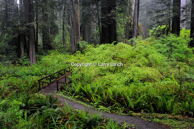Sword ferns, vine maples and coast redwoods<br />