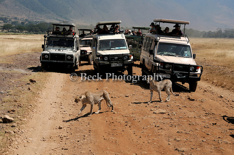 Africa  Kenya Masai Mara  traffic jam cheetah crossing