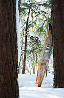 Old-fashioned traditional snowshoes lean against a hemlock tree in the woods in winter, Ontario, Canada.