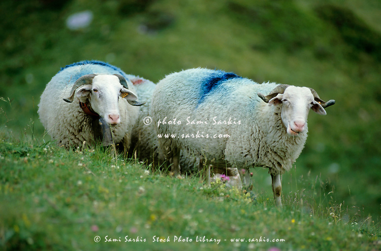Sheep with blue markings graze on a farm in the Pyrenees, France.