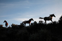 Mustangs flee across a ridge in the South Steens Herd Management Area in Oregon.<br />  A herding animal, the instinct is always to be alert for predators. Horses have a flight or fight instinct.