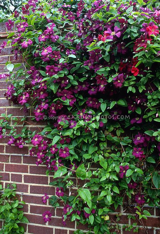 clematis viticella etoile violette plant flower stock photography. Black Bedroom Furniture Sets. Home Design Ideas