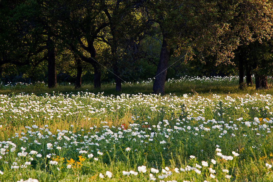 Sunset falls on a Field of Texas White Prickly Poppy wildflowers surrounded by Texas Live Oaks in the Texas Hill Country, Llano, Texas
