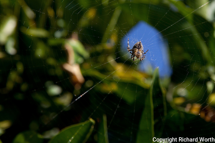 A spider in the middle of its web spanning the leafy branches of a backyard orange tree in a San Francisco Bay Area backyard.