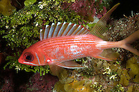 nr604-D. Longspine Squirrelfish (Holocentrus rufus). Belize, Caribbean Sea.<br /> Photo Copyright &copy; Brandon Cole. All rights reserved worldwide.  www.brandoncole.com