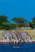Botswana-Wildlife-Zebras