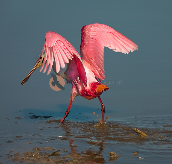Roseate Spoonbill landing in water  away from camera with face visible under left wing