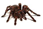 Tarantula Spider, Salmon Pink Bird Eating, Lasiodora parhaybana, Brazil, on white background, cut out.South America....