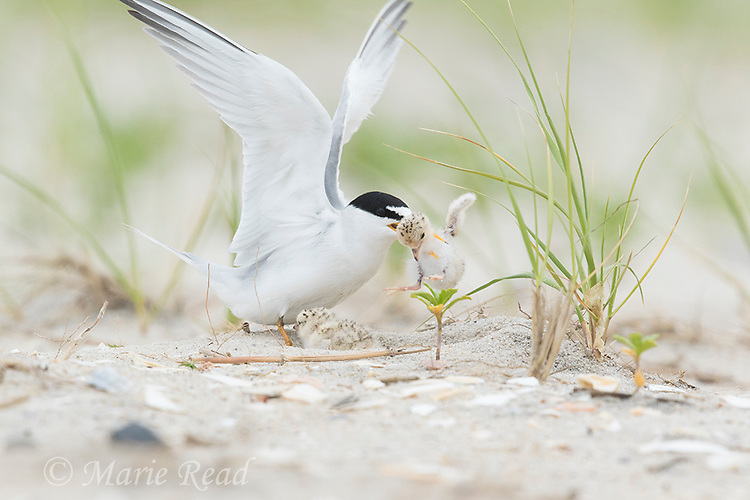 Least Tern (Sterna antillarum) aggressive behavior toward chick (likely not its own) at nest, Nickerson Beach, Long Island, New York, USA. (The tern picked up the chick, shook it and dropped it nearby.)