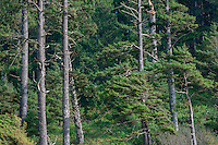 USA, Oregon, Oswald West State Park, Stand of Sitka spruce (Picea sitchensis) growing above Short Sand Beach.