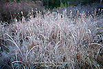 Frost on Broadleaf Cattail, Pocono Mountains, Pennsylvania