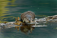 Northern River Otter pup (Lontra canadensis).  Western U.S., June..