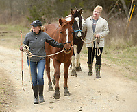 Carmen Nelson (left), director of the Animal League of Washington County, and longtime friend and volunteer Linda Gershon guide two horses Thursday, Jan. 9, 2020, before loading them onto a trailer at a house in Elkins. The horses were removed from their owner through a partnership with the Washington County Sheriff's Office because of neglect. Oreo and Cookie were taken to a veterinarian for care before they go to a foster home today. Check out nwaonline.com/200110Daily/ for today's photo gallery.<br /> (NWA Democrat-Gazette/Andy Shupe)
