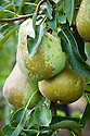 """Pear 'Bristol Cross', early September. An English pear """"raised in 1920 by G.T. Spinks at Long Ashton Research Station in Bristol from 'Williams Bon Chretien' x 'Conference'. Introduced in 1931. A heavy cropping pear of good quality on heavy soils."""" ('Pears' by Jim Arbury and Sally Pinhey)"""