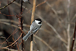 Black-capped Chickadee perched on a stick.