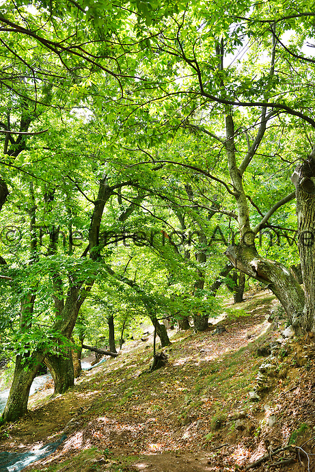 Dappled sunshine plays with the canopy of ancient chestnut trees in this wood in the Ardeche