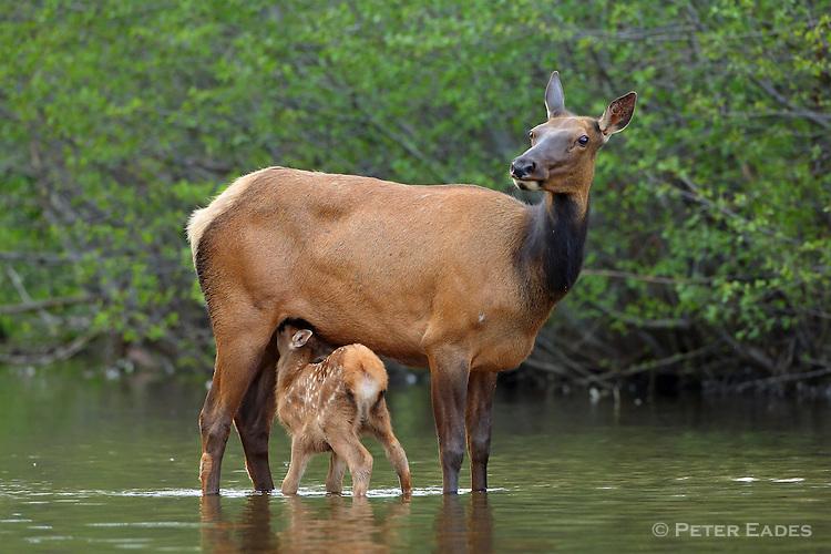 Cow Elk with calf