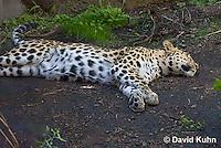 0309-1103  Amur Leopard Sleeping, Panthera pardus orientalis  © David Kuhn/Dwight Kuhn Photography