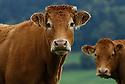 28/09/07 - MARGERIDE - HAUTE LOIRE - FRANCE - Vaches allaitantes LIMOUSINES - Photo Jerome CHABANNE