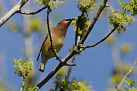 Cedar Waxwing (Bombycilla cedrorum), adult feeding on Pecan tree flowers (Carya illinoinensis), New Braunfels, Hill Country, Central Texas, USA