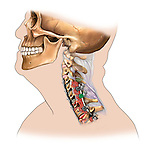 C4-T1 cervical bone fusion, side view